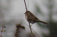 IMG_1121 Pale Song Sparrow (Jon. D. Anderson) Tags: sparrow bird birdsofwashington washingtonbirds rarebird ebirdrarityphoto songsparrow melospizamelodia