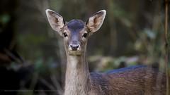 .. (jesscser) Tags: natural wildlife deer cerf chevreuil daim biche oise affût libre sauvage