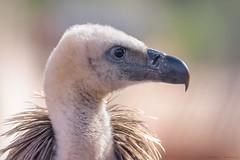 Retrato leonado 2 (sergio estevez) Tags: aves bokeh buitreleonado color campodegibraltar estrechodegibraltar fauna kenko15x luz nikonafs300mmf4 pajaro sergioestevez