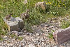 IMG_8251-1 (Debbie Spradley) Tags: montana family vacation troy glaciernationalpark rosscreekcedarsscenicarea kootenaifalls goat sheep marmot ptarmigan celebration hike hiddenlaketrail stmarylake wizardisland lakemcdonald goingtothesunroad