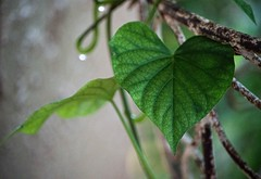Have A Heart (ACEZandEIGHTZ) Tags: leaf bokeh nikon d3200 green sweetpotato vine plant stand wroughtiron closeup macro