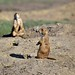 Community Life in Prairie Dog Town (Theodore Roosevelt National Park)