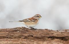 American Tree Sparrow. (mandokid1) Tags: canon 1dx ef600mm11 birds sparrows
