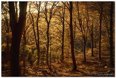 "Golden Woods [2] (""Deca"") Tags: varese parcoregionalecampodeifiori campodeifiori autunno autumn fall boschi woods colori colors alberi trees ottobre october"