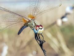 DRAGONFLY´S SMILE (Pedro Muñoz Sánchez) Tags: libélula dragonfly
