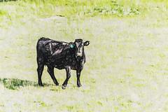 Staring At You (p) (davidseibold) Tags: america animal benaroad california canonrebelxsi cattle grass jfflickr kerncounty mountain nature painting photosbydavid plant postedonflickr unitedstates usa