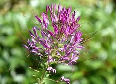 Cleome Gynandra (rustyruth1959) Tags: plant outdoor greenery stem petals pink closeup sigma105mm nikond5600 nikon nature bloom flower garden broburyhouseandgardens brobury herefordshire england uk