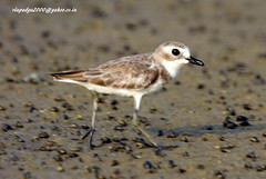 IMG_2809 Greater Sand Plover (Charadrius leschenaultii) (vlupadya) Tags: greatnature animal bird aves fauna indianbirds greater sand plover charadrius kundapura karnataka