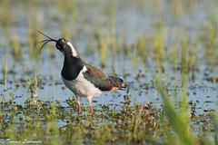 Northern lapwing  (Vanellus vanellus) - czajka zwyczajna (tomaszberlin) Tags: nature wildlife birdwaching bird animal poland czajka nikon lapwing biebrza marsh swamps ng bw ngc