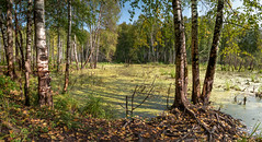 Лесное озеро / Forest Lake (Tolan1212) Tags: russia kirovregion nature 2018 landscape travel water nikkor forest birch lake autumn