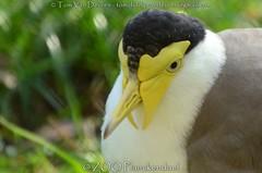 maskerkievit - Vanellus miles - Masked Lapwing (MrTDiddy) Tags: maskerkievit vanellus miles masked lapwing zooplanckendael zoo planckendael dierenpark
