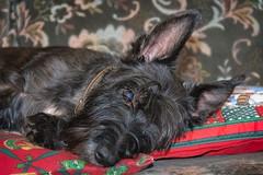 Awake My Soul (ttarpd) Tags: tigger dog pet canine faithful four legged friend companion scottish terrier jack russell domestic animal