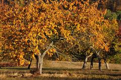 DSC_6647 Streuobstwiese im Herbst (Charli 49) Tags: nature streuobstwiese herbst baum laub bunt nikon d90