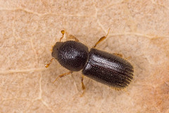 Taphrorychus bicolor (NakaRB) Tags: 2017 insecta coleoptera scolytidae taphrorychusbicolor