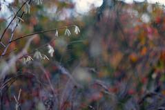 autumn whimsy (Frau Koriander) Tags: nikond300s nikkor5512 f12 nikkorscauto55mmf12 herbst autumn fall hasel haselnuss strauch pflanze plant dof depthoffield bokeh schärfeverlauf darmstadt flora
