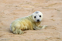 Grey Seal Pup (Karen Roe) Tags: greyseal grey seal pup young canon 760d canon760d 150600mm sigma zoom telephoto december 2018 winter season norfolk county britain greatbritain gb uk unitedkingdom outside outdoor day camera photo photography photograph photographer picture capture image snap shot karenroe female flickr visit visitor wildlife wild nature natur naturephotography national animal life cute colours naturaleza eos light sea coast beach happy cold weather