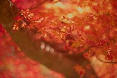 Blazing Autumn Maple (moaan) Tags: kobe hyogo japan jp leaf maple japanesemaple momiji autumn blazingautumn autumncolors autumnleaves fall fallcolors fallfoliage light sunlight pouringsunlight outdoors focusonforeground selectivefocus depthoffield bokeh bokehphotography utata 2018 ernestleitzwetzlarsummarexf85cm