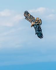 Eagle Wing-over (lennycarl08) Tags: baldeagle eagle raptor birdofprey sacramentonwr