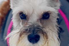 'The looks 👀... (Rakista1970) Tags: winter snow macroshots macrophotography nikon nikond200 dog