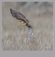 Flickr--2019-01-17-2655.jpg (frankpaliphotography) Tags: prey hawk hunting nature cyaneus birds flying circus brown background flight marsh female ornithology blue wild wildlife feathers predator wings bird harrier outdoors northern isolated raptor sky field