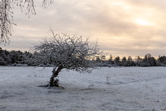Frosty Tree (J. Pelz) Tags: winter gotland sweden snow landscape tree winterscene nature