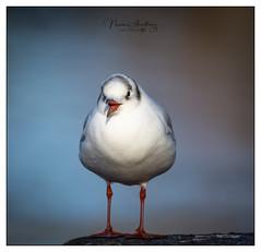 Cheeky Chubby (naomi.batwoman) Tags: nikon d7100 bird black headed gull chirpy plump chubby colour beak sing legs beauty happy