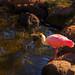 Beautiful pink and white bird