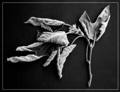 Feuilles mortes (fauglia2003) Tags: foglie natura bn