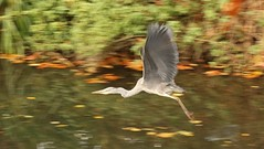 Grey Heron, 19112018, (32) f (alanblunden) Tags: lloydramsdenwalk wildbird riverwitham bird alongtheriver wildlife autumn grantham wild wyndhampark granthamsriversidewalkcycleway park greyheron river november uk water grey heron autumn2018 november2018