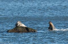 Harbor seals showing off - Mt. Loretto Unique Area, Staten Island, New York (superpugger) Tags: seal seals harborseals mammal mammals marinemammals princesbay raritanbay pinnipeds pinniped animals outdoors nature statenislandwildlife newyorkcitynature statenislandoutdoors wildlife fauna sea bay lowerbay marine