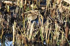 Jack snipe (Lancs & Lakes Outback Adventure Wildlife Safaris) Tags: nikon d7200 tamron 600mm bird camouflage snipe jacksnipe rspb leightonmoss lancashire silverdale hidden hiding reeds stripey