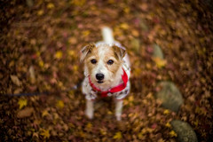 The End of Autumn (moaan) Tags: kobe hyogo japan jp dog jackrussellterrier kinoko animal domesticanimal portrait dogportrait dogphotography fallenleaves autumn autumnleaves colorimage red outdoors focusonforeground selectivefocus depthoffield dof bokeh bokehphotography leica leicaphotographgy leicamp type240 noctilux 50mm f10 leicanoctilux50mmf10 utata 2018