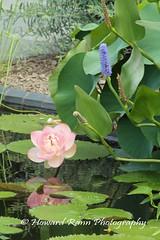 Longwood Gardens Summer 2017 (174) (Framemaker 2014) Tags: longwood gardens kennett square pennsylvania united states america