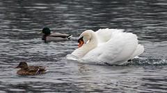 Friendship with ducks (malioli) Tags: ducks swan bird animal water river nature korana karlovac croatia hrvatska europe canon