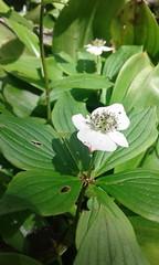 Cornus canadensis (tammoreichgelt) Tags: canadian dwarf cornel bunchberry quatretemps quatre temps crackerberry creeping dogwood flower mount pico vermont cornaceae inflorescence