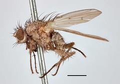 Anthomyza immatura Zetterstedt, 1845 (Biological Museum, Lund University: Entomology) Tags: zetterstedt diptera anthomyiidae anthomyza immatura anthomyia liturata mzlutype00485 taxonomy:binomial=anthomyzaimmatura