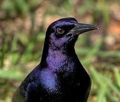The Inquistive Grackle (Darts5) Tags: boattailedgrackle maleboattailedgrackle grackles malegrackle bird upclose birds animal nature 7d2 7dmarkll 7dmarkii 7d2canon ef100400mmlll closeup canon7d2 canon7dmarkll canon7dmarkii canon canonef100400mmlii