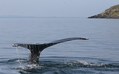 Giant Of The Sea (peterkelly) Tags: digital canon 6d northamerica canada newfoundlandlabrador trinitybay whale fluke tail shore shoreline coast coastline humpbackwhale diving water