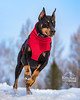 Picture of the Day (Keshet Kennels & Rescue) Tags: adoption dog ottawa ontario canada keshet large breed dogs animal animals pet pets field nature photography doberman sprint winter snow handsome