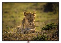 The sleeping Lioness (Suvrangshu) Tags: suvrangshughoshphotography suvghoshphotography canon5dmarkiii wildlifephotography africa africansafari wildafrica tanzania sarengeti masaimara thesleepinglioness platinumheartaward