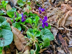 First violets of the year in Kiefersfelden, Bavaria, Germany (UweBKK (α 77 on )) Tags: violets viola veilchen blumen flowers blossom plant flora leaves leaf brown green blue spring kiefersfelden bavaria bayern germany deutschland iphone