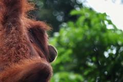 Jungle freedom (leewoods106) Tags: borneo sepilok sandakan sabah malaysia wild wildlife wildorangutan orangutan primate jungle