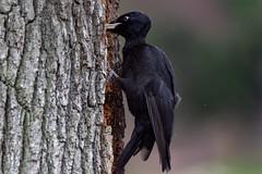 a Black Woodpecker / un pic noir : tac tac tac (Franck Zumella) Tags: bird oiseau black noir woodpecker piv trunck tronc food nourriture wildlife sauvage vie nature animal pic