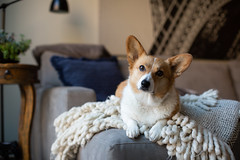 Taffy (Brian.Buckler) Tags: corgi dog cute pembroke welsh couch living room canon 5d full frame light color taffy brian buckler photography chicago il photographer herding breed
