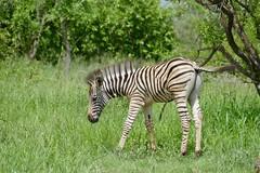 Burchell's Zebra (Equus quagga burchellii) foal ... (berniedup) Tags: burchellszebra equusquaggaburchellii zebra taxonomy:trinomial=equusquaggaburchellii equusquagga taxonomy:binomial=equusquagga pretoriuskop kruger