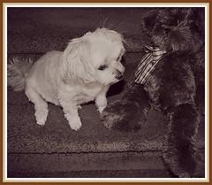 BELLA Promises Not To Bite Barry's Nose (marilyntunaitis) Tags: dog pet bella barrybearington plush stuffedanimal teddybear alphabet