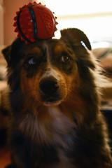 Erm.... What? **Explored** (flashfix) Tags: january122019 2019inphotos flashfix flashfixphotography ottawa ontario canada nikond7100 40mm portrait sock dog canine animal pet austrailanshepherd triaustrailanshepherd bluemerle tricolour heterochromia ball