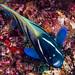 Six-banded Angelfish - Pomacanthus sexstriatus