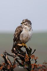 Common Buzzard | Hound Tor | Dartmoor (http://www.richardfoxphotography.com) Tags: common buzzard dartmoor bird prey sunrise outdoors animal