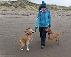 playing like a pup (RCB4J) Tags: art ayrshire ayrshirecoast babygrace clydecoast dobermanterrier dogwalking dogs firthofclyde gailes irvinebeach jakob photography rcb4j ronniebarron scotland siameselurcher sony18250mmf3563dtaf sonyilca77m2 trailhound vizsla old character play dxo